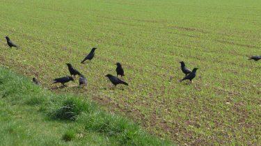 Seconde période d'effarouchement des oiseaux