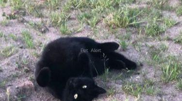 PERDUE chatte noire à VEZINS